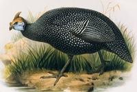 Ptilorhyncha1_1